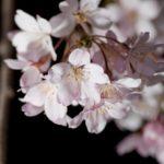 Premium夜桜茶会